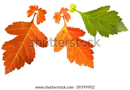 autumn colored  leaves  of hawthorn surface texture top view close up isolated on white background  - stock photo