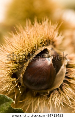 Autumn colors - Chestnut in a husk - stock photo