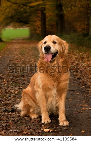 Autumn colors in forest with Golden Retriever - stock photo