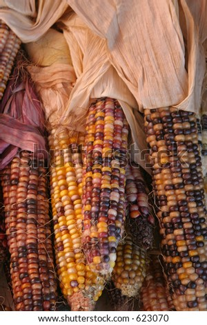 Autumn Corn with dried husks - stock photo