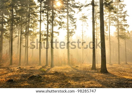 Autumn dawn in pine forest - stock photo