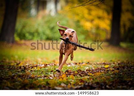 Autumn Dog Rhodesian Ridgeback - stock photo