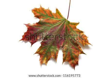Autumn dry maple leaf on a white background - stock photo