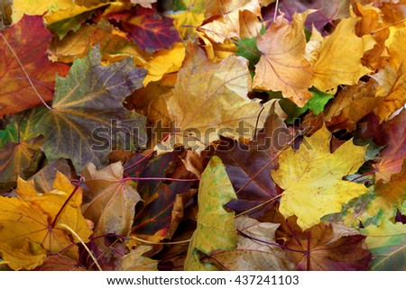 Autumn dry maple leafs. Natural background. - stock photo
