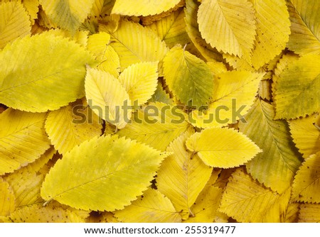 Autumn elm leaves background - stock photo