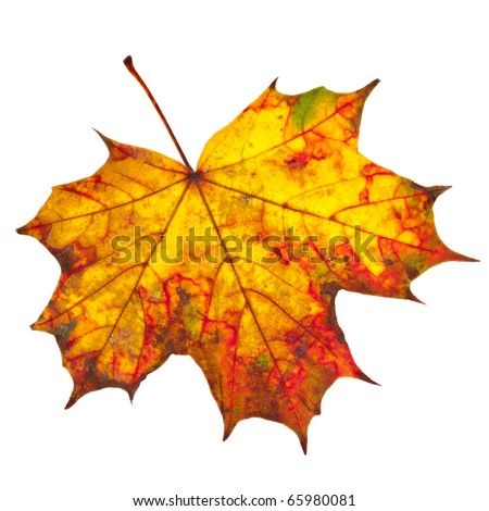 autumn fall leaf isolated on a white background - stock photo
