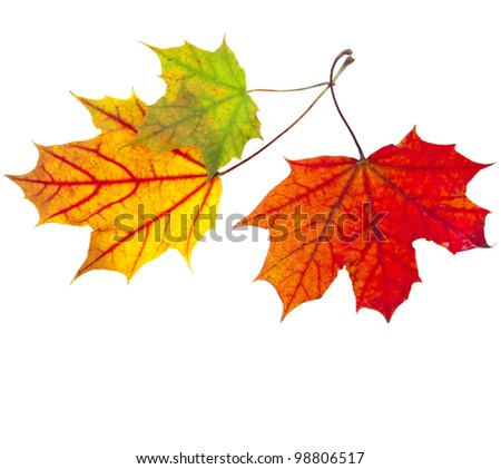 autumn fall  leaves maple isolated on white background - stock photo