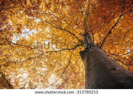 autumn fall tree with orange leaves. can be used for nature, autumn, fall, tree, landscape, environment, forest themes - stock photo