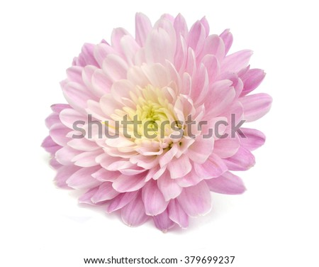 Autumn flower: purple chrysanthemum isolated on white background - stock photo