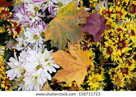 Autumn flowers. Chrysanthemum. Maple leaves on top. Marguerite. - stock photo
