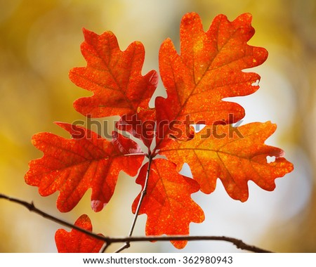 Autumn foliage: a cluster of five bright orange oak leaves on yellow background. - stock photo