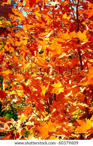 autumn foliage close up - stock photo