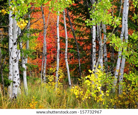 Autumn foliage including birch and maple trees with pine forest - stock photo