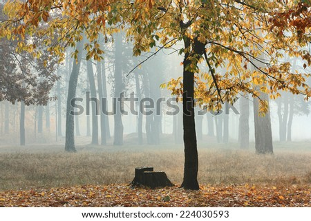 Autumn forest in fog. Tree and tree stump in a forest in autumn morning. Dark silhouettes and bright colors of fall through the haze. - stock photo
