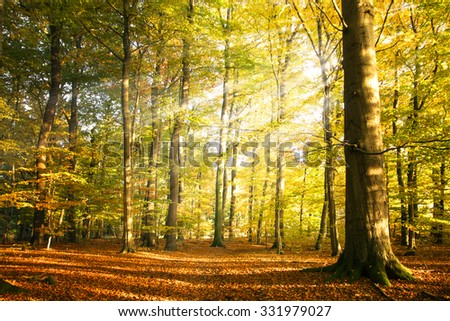Autumn forest landscape with sun rays and colorful autumn leaves at the tall trees, beauty in nature for posters, background or wallpaper - stock photo