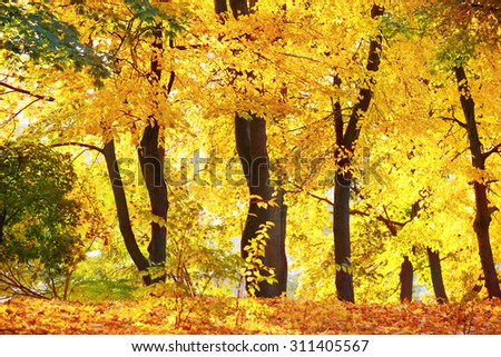Autumn forest or park with bright yellow trees - stock photo