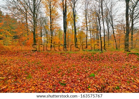 Autumn forest with ground covered in orange and yellow leafs. Ardennes. Belgium. - stock photo