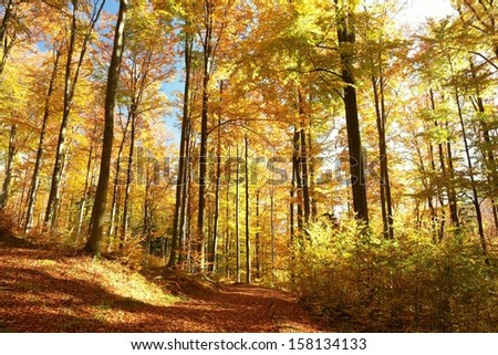 Autumn forest with most of alders in the sunshine. - stock photo