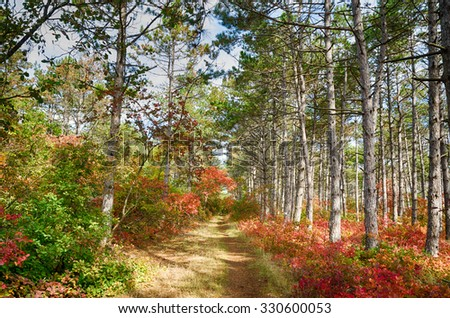 Autumn forest with pines stretching into the distance between the footpath - stock photo