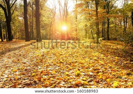 autumn forest with sun / autumn - stock photo