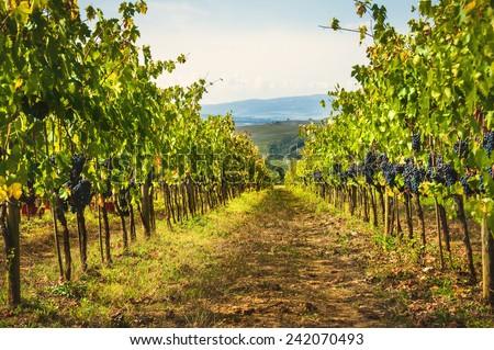 Autumn grape harvest in Tuscany, Italy - stock photo