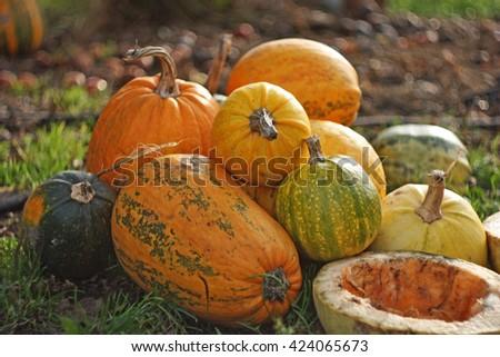 Autumn harvest of pumpkins halloween. Assorted pumpkins outdoor. Autumn vegetables. Halloween pumpkins on blurry background. Selective focus. - stock photo