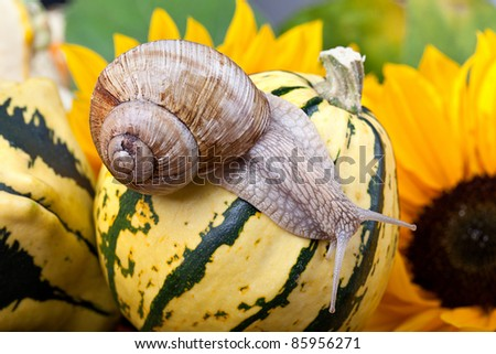 Autumn Image with European Grapevine Snail and Pumpkins - stock photo