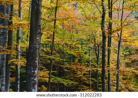 Autumn in the beech forest. Seasonal landscape with colorful trees - stock photo