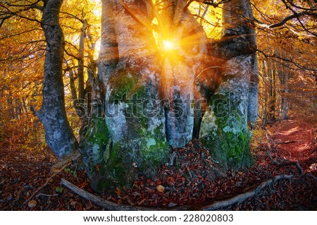 Autumn in the forest and Transcarpathia Prikarpattya osen- alpine comes with glowing colors of the leaves, the rays of the sun at sunrise and sunset, beautiful silhouette trunks - stock photo
