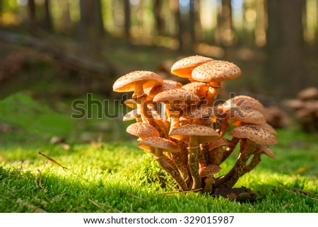 Autumn in the forest. Mushrooms and moss, Common Honey Fungus - stock photo