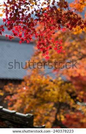 Autumn Japanese garden with maple in Japan - stock photo
