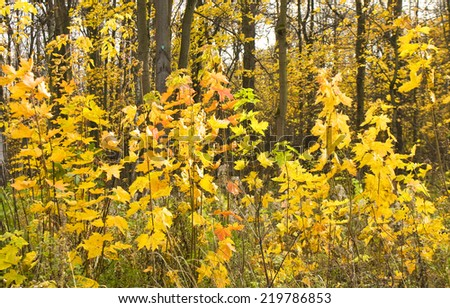 Autumn landscape, little young maple plants with yellow leaves - stock photo