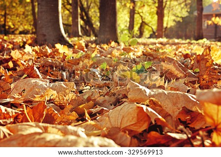 Autumn landscape with carpet of fallen maple leaves and blurred background in sunny weather - focus at the foreground, selective focus, lowest point shooting - stock photo