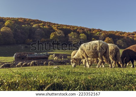 Autumn landscape with sheepfold and grazing sheep flock on a mountain meadow in Brasov county, Romania. - stock photo