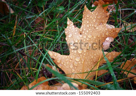 Autumn leaf and drops. Nature composition. - stock photo