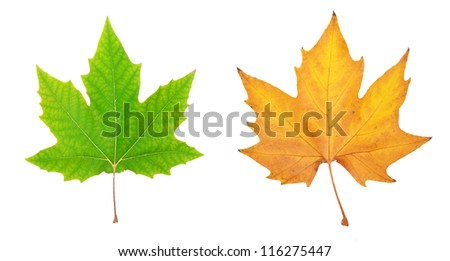 Autumn leaf. Element of design. - stock photo