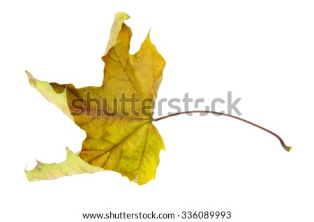 Autumn leaf isolated on a white background - stock photo