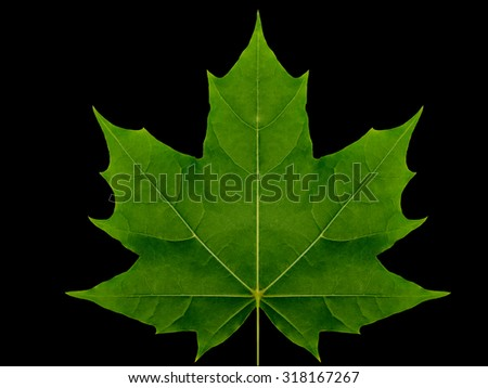 Autumn leaf  maple  on a black background isolated with clipping path.  Nature.  Closeup with no shadows. Macro. Indian summer. Green.  For design of cards and web sites about nature. - stock photo