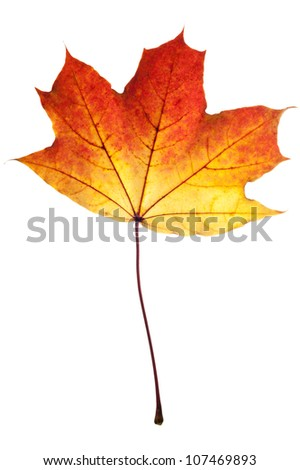 Autumn leaf of maple isolated on white. - stock photo