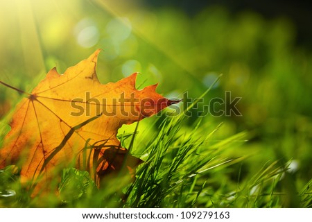 Autumn leaf on green grass, macro closeup. - stock photo