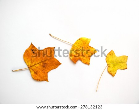 autumn leaf tulip tree (also called, american tulip tree, tuliptree, tulip poplar, yellow poplar - stock photo