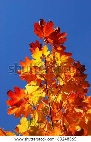 autumn leafs close-up against blue sky - stock photo