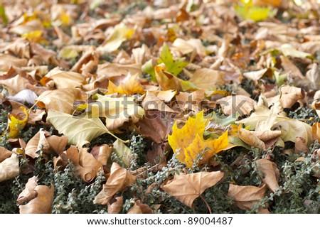 autumn leaves 1 - stock photo