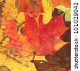 Autumn leaves background, high detail close up - stock photo