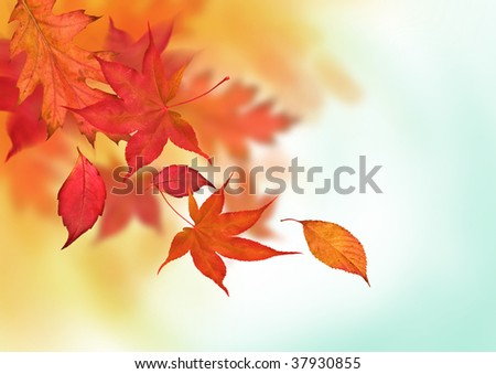Autumn leaves in golden ambers and reds falling from the trees. - stock photo