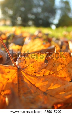Autumn leaves in the morning sunshine  - stock photo