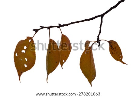 Autumn Leaves Isolated on White as Design Element - stock photo