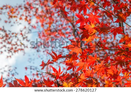 Autumn leaves (koyo) Colorful Autumn foliage Red momiji (Japanese maple) season in Kyoto, Japan - stock photo