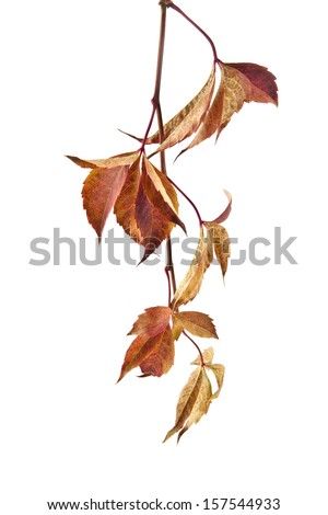 autumn leaves of vine on a white background - stock photo