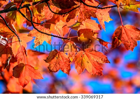 Autumn leaves on a red Maple tree - stock photo